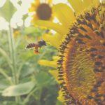 Biene-Sonnenblume