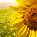 Sonnenblume, Landwirtschaft, Ländliches Wohnen