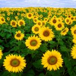 sunflower-11574