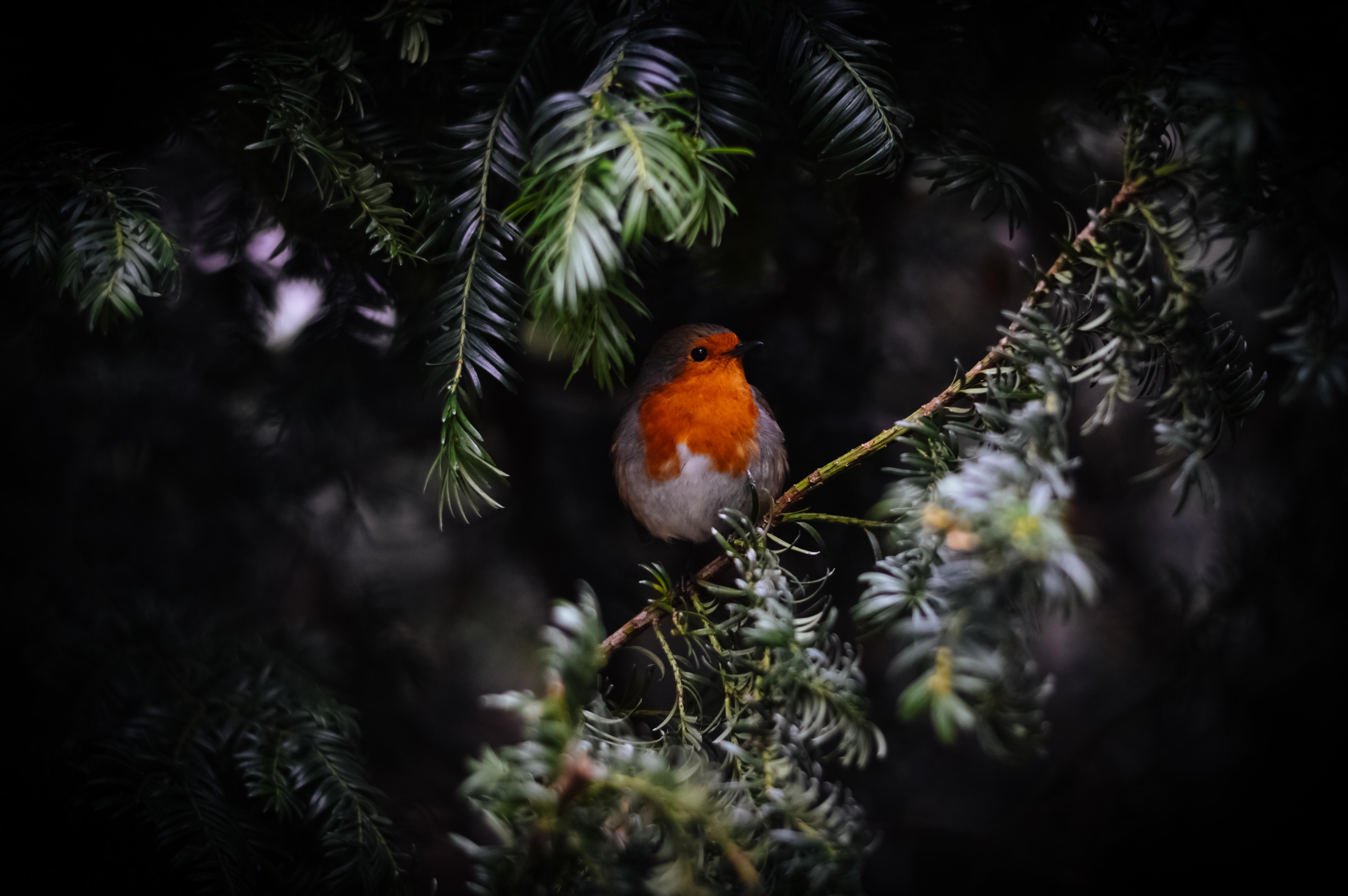Rotkelchen im Winter