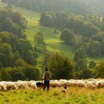 Schäfer mit Herde